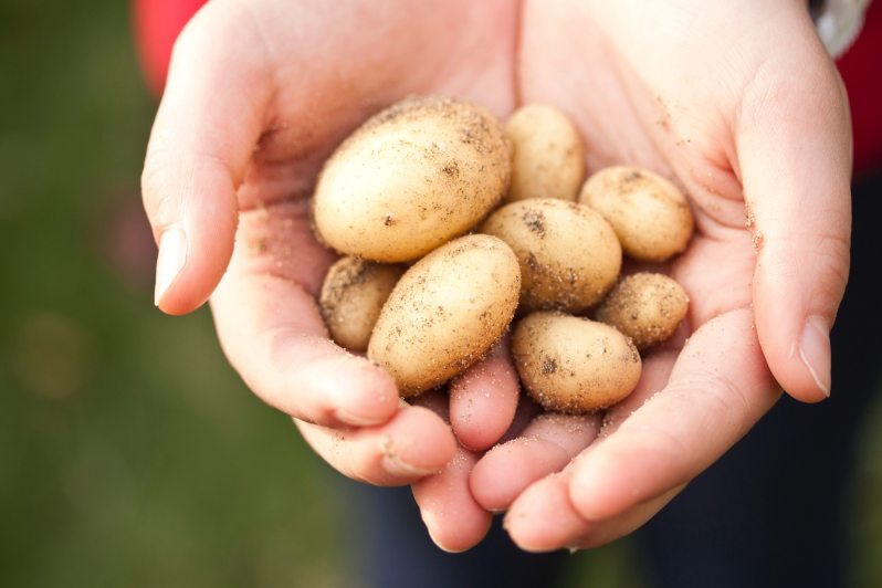 cupped hands holding small potatoes